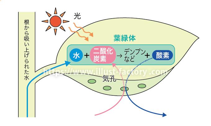 教材イラスト制作サンプル理科教科書・光合成