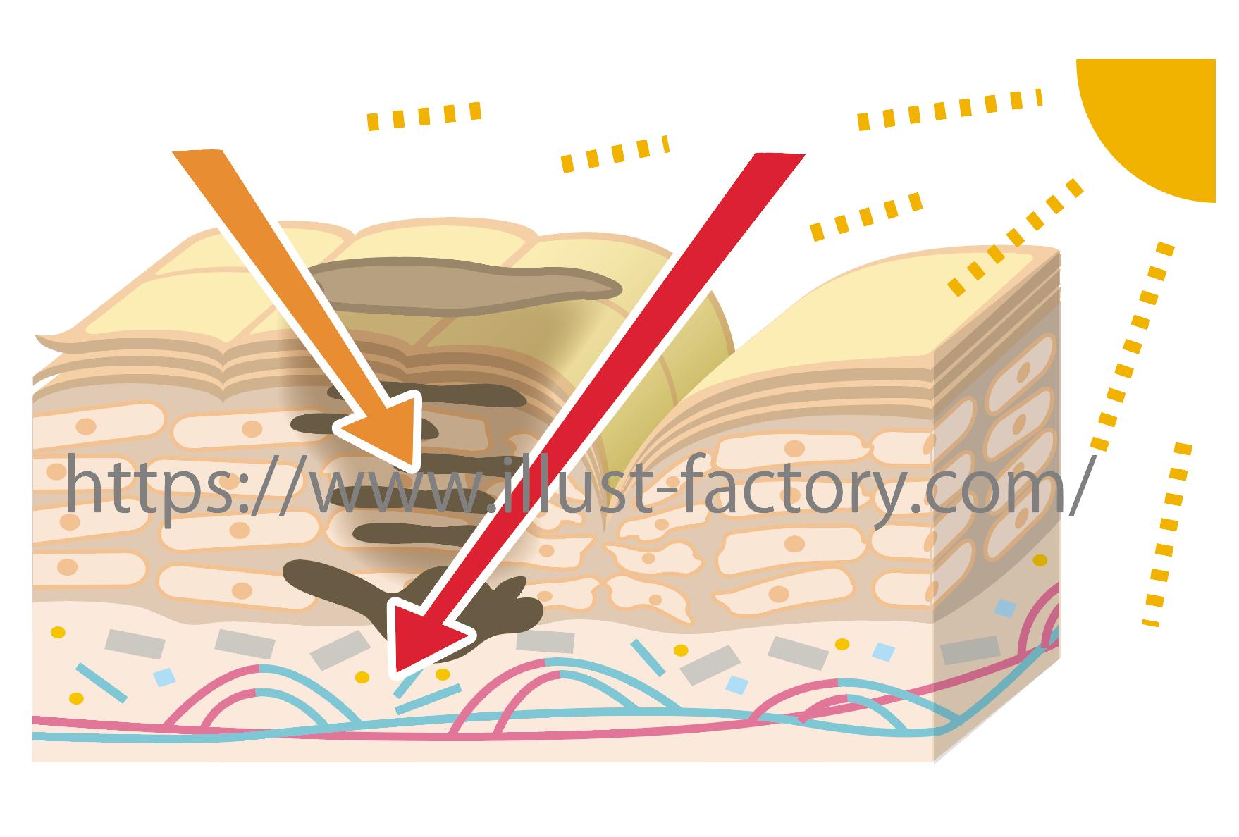 肌の断面図イラスト化粧品コスメ関係イラスト お仕事紹介質問
