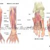 医療関係の人体イラスト★手と足の、骨と筋肉の付き方などの説明