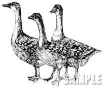 G49-03 手描き ガチョウのイラスト
