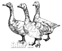 G49-04 手描き ガチョウ(白)のイラスト