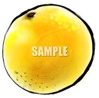 H07-14 グレープフルーツのイラスト制作例(筆絵風)