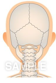 H14-14 骨の図解・イラスト 後頭部