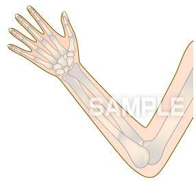 H14-15 骨の図解・イラスト 腕