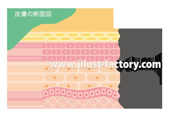 H87-01 皮膚の断面図