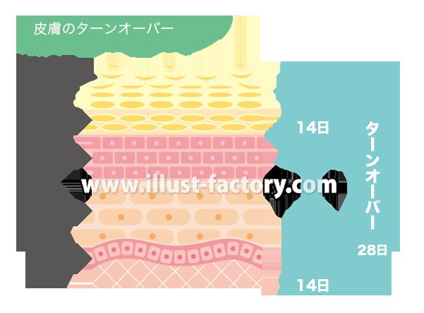 H87-03 皮膚のターンオーバー