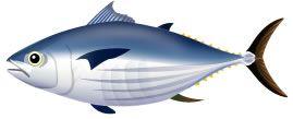 S03-03 魚のイラスト制作例(カツオのイラスト)