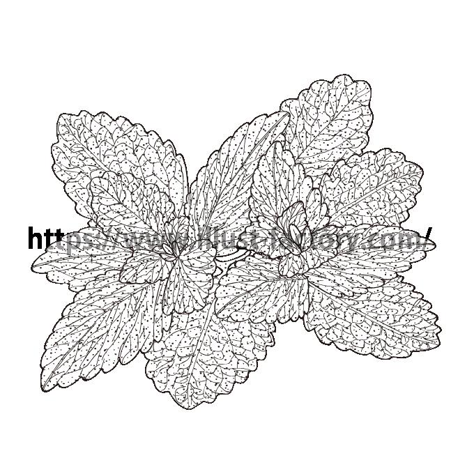 S34-04 ペン画タッチ植物イラスト ミント