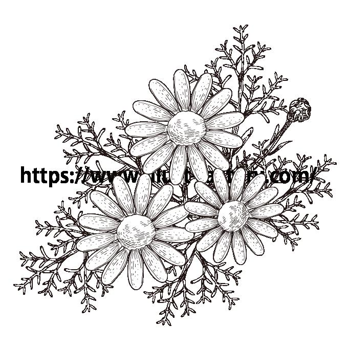 S34-05 ペン画タッチ植物イラスト カモミール